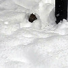 A squirrel in its snow tunnel at the base of our bird feeders. Photo by Diana Lett.