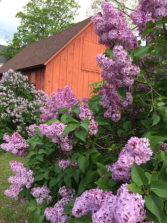 Lilacs in the Central Neighborhood. Photo by Emily Taphouse.