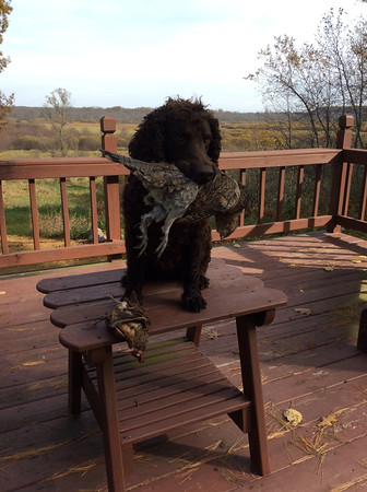 Magnum is an American water spaniel and a hunter's best friend. Photo by Mark Mantych.