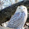 Snowy owl at Kelly Orchard on Old Mission Peninsula. Photo by Janice Cleland.