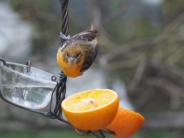 A first-year female oriole engages in a stare-down with the camera in a Williamsburg backyard. Photo by Bob Knaack.