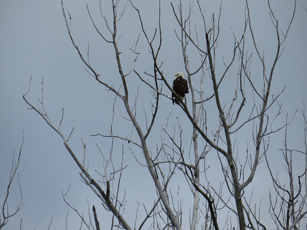 A bald eagle perches on a branch near Torch Lake. Photo by Amy Barickman.