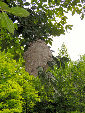 A hornets nest hangs on a tree in Elk Rapids. Photo by Cathy McKinley.