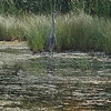 A blue heron was spotted at Arbutus five. Photo by Keli Hagan.