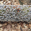 Bluish growth on a fallen tree in Leelanau County.  Photo by John Lievense.