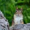 A curious chipmunk in Eastport. Photo by Lynne Agar.
