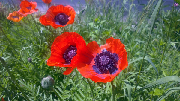 Poppies in bloom in Northport. Photo by Don Montie.