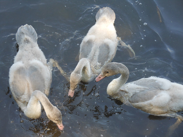 """Ugly ducklings"" are actully cygnets on Cedar Cove in Bellaire. Photo by Bob Tosterud."