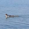 A mother common merganser and her babies out for a swim off the shore of Bohemian Road beach. Photo by Jennifer Grochowalski.