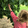 Cherry picking at a local farm. Photo by Elizabeth Johnson.