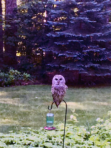 An early morning owl on Long Lake Peninsula.  Photo by Susan Armour.