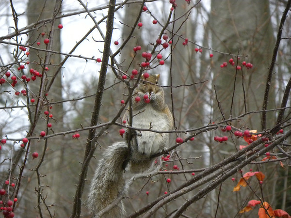 A gray squirrel in a crabapple tree. Photo by Chuck Bond.