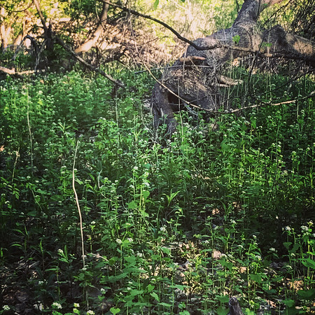 A large patch of invasive garlic mustard in Traverse City. Photo by Holly Wright.