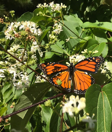 A monarch butterfly in a garden. Photo by Jan Zolik