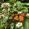 A monarch butterfly in a garden. Photo by Jan Zolik