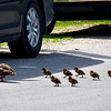 A mother duck and her ducklings managed to cross the road while congested Front Street traffic rolled by. Photo by Cathy McKinley.