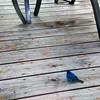An indigo bunting looks for a snack on a deck. Photo by JJ Johnson.