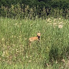 A young fox rests in a field south of Kingsley. Photo by Vicky Arlt.