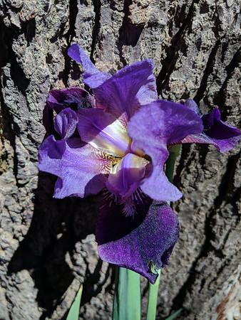 A garden iris in Long Lake Peninsula. Photo by Lynn Huffman.