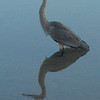 Blue heron standing in Crystal Lake. Photo by June Engelbertson.