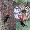 A pair of woodpeckers look for snacks along the Torch River. Photo by Amy Barickman.