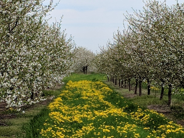 Cherry orchard north of Acme. Photo by Lynn Huffman.