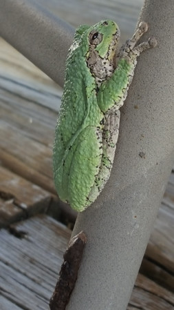 A tree frog found in the Thompsonville area. Photo by Chris Gravlin.