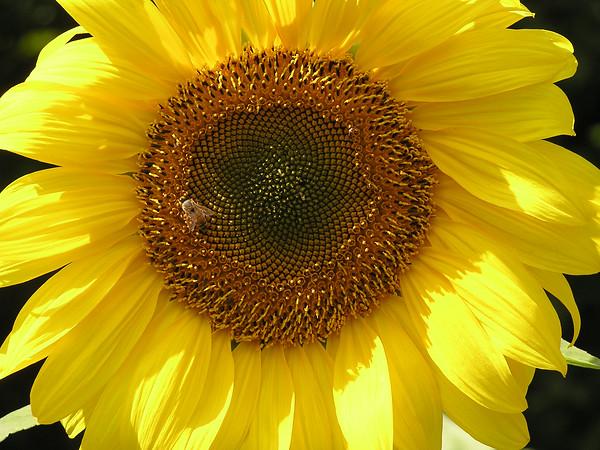 tcrGOeyes sunflower 0826