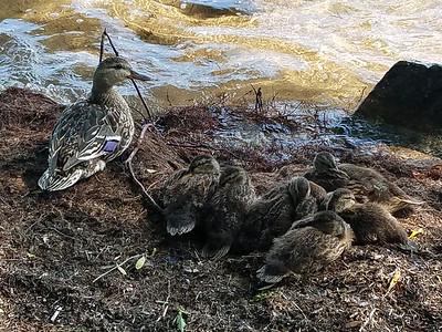tcrGOeyes 0711 duckfamily