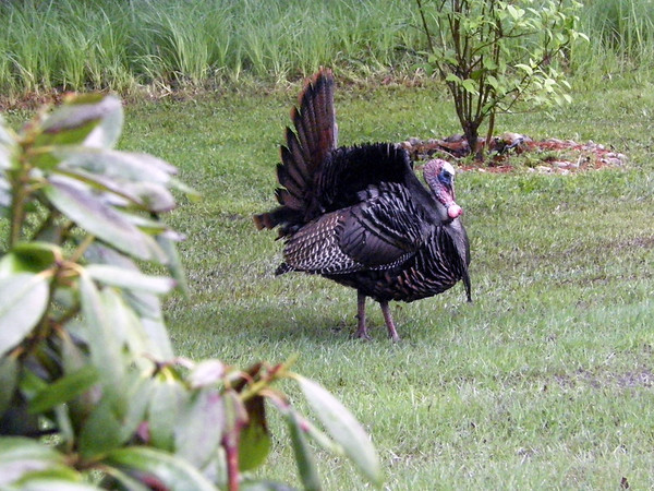 A tom turkey displays its feathers for a turkey hen at a home along the Torch River. Photo by Sherry Day.