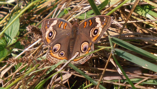 A buckeye butterfly rests on the Timbers Nature Preserve in Long Lake Township. Photo by John Mesch.