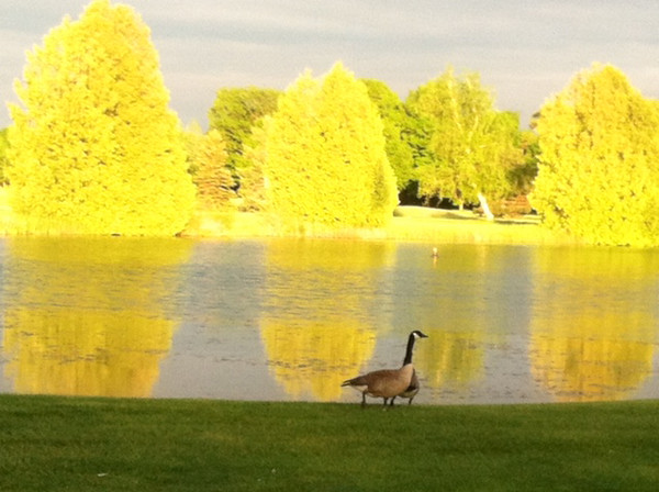 Geese on the 16th hole of the Traverse City Golf and Country Club. Photo by Meg McCardel.