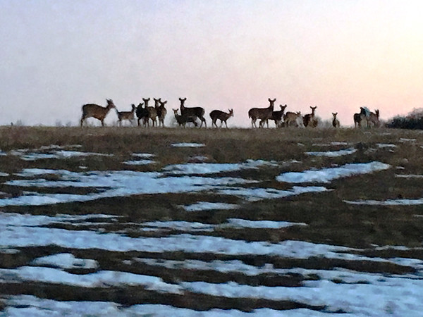 Saw over 100 deer in 2-mile area north of Cedar. Photo by Janet Alpers.