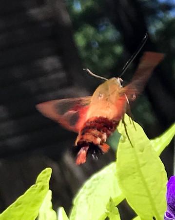 A hummingbird moth buzzes around the petunias. Photo by Jan Zolik.