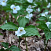 Trillium blooms. Photo by Heather Spaleny.
