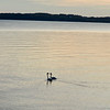 Swans meander on West Grand Traverse Bay. Photo by Cathy McKinley.