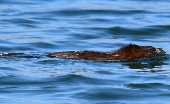 A beaver swims in Otter Lake. Photo by Jennifer Grochowalski.