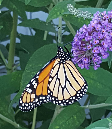 A monarch butterfly on a bush at Gray Farm, Lake Ann. Photo by Brooke Gray.