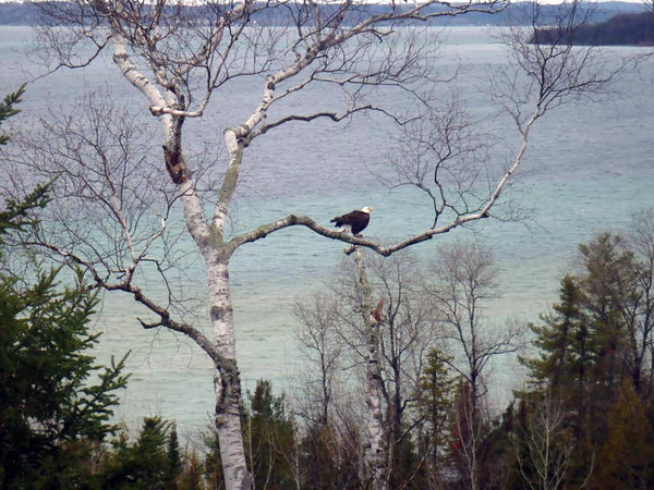 A bald eagle ruffles his feathers while perched on a tree stump just south of Gray Road, with Power Island in the distance, in a backyard on Old mission Peninsula. Photo by Cathy Lillie.