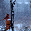 A male cardinal braves the storm for a snack. Photo by Cathy McKinley.