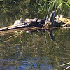 Snakes sunbathe along the Betsie River. Photo by Bill Greene.