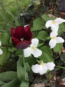 Tulip and trillium. Photo by Everett Waisanen.