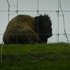 A buffalo rests at a Silver Pines Road farm. Photo by Lynn Huffman.