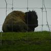 A buffalo rests at a Silver Pines Road farm. Photo by Lynn Huffman.