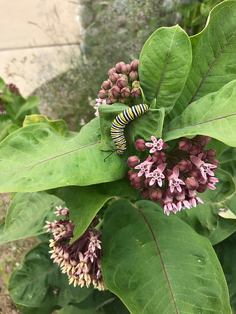 A caterpillar enjoys milkweed at Sleeping Bear Dunes National Lakeshore. Photo by Sharon Bacon.