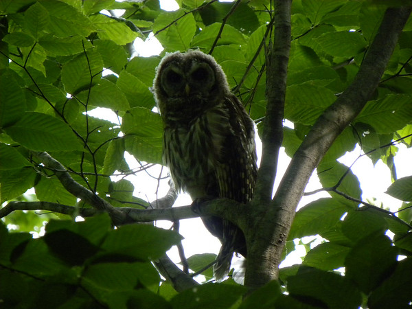 A barred owl poses on a branch. Photo by Chuck Bond.
