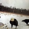 Three eagles enjoy dinner in a backyard. Photo by Debra Ruthkowski.