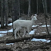 A Traverse City woman spotted this white deer in Brighton in March. Photo by Heidi Clark-Ladd.