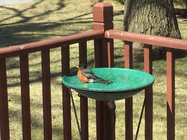 A robin rests in a heated birdbath. Photo by Cheryl K. Gerschbacher.