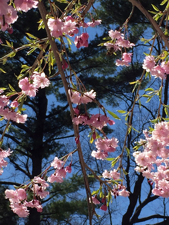 Spring blossoms beneath tall pines. Photo by Meredith Parsons McComb.